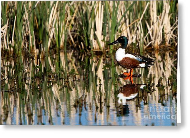 Northern Shoveler Orange Legs Greeting Card