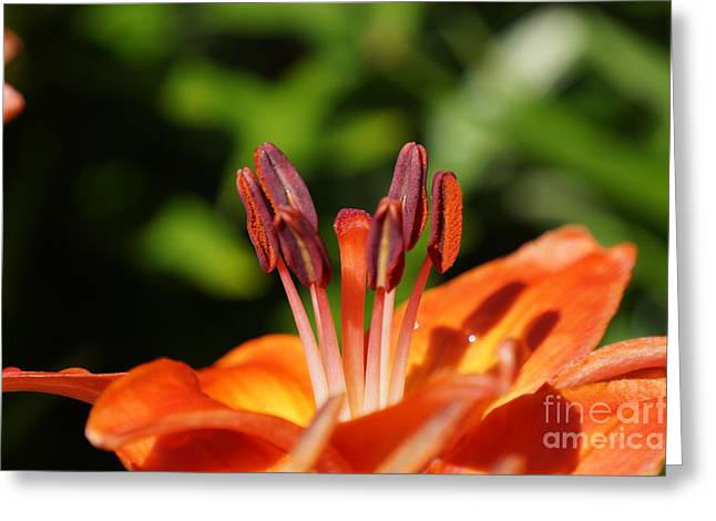 Orange Lily Greeting Card by Zori Minkova