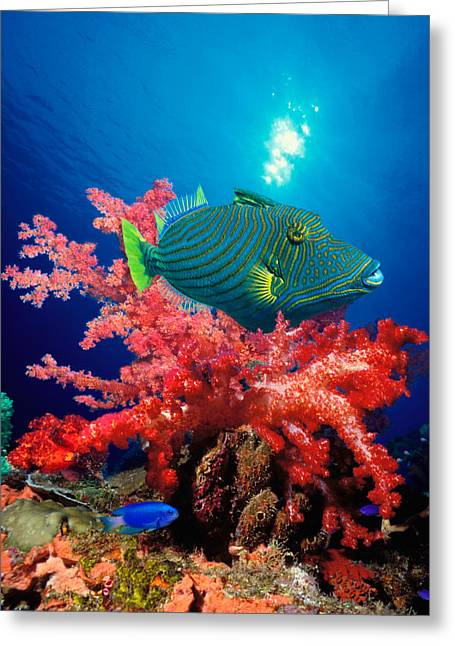 Orange-lined Triggerfish Balistapus Greeting Card by Panoramic Images