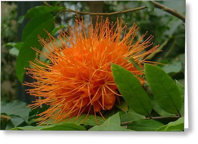 Orange Pin-cushion Plant Greeting Card by Denise Mazzocco