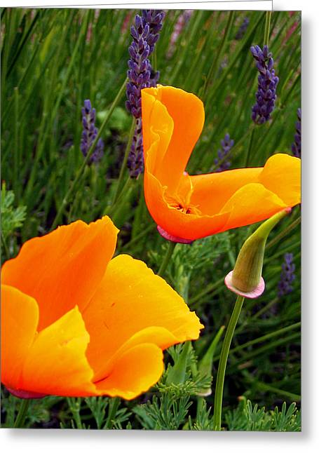 Orange Poppies With Lavender Greeting Card