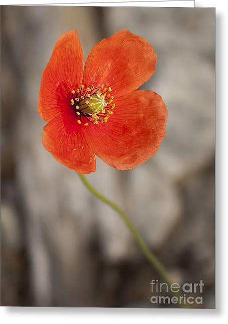 Orange Poppy Greeting Card by Lena Auxier