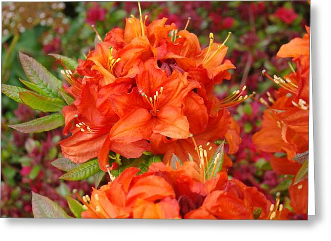 Orange Rhododendron Flowers Art Prints Greeting Card by Baslee Troutman