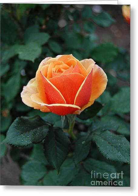 Greeting Card featuring the photograph Orange Rose by Eva Kaufman