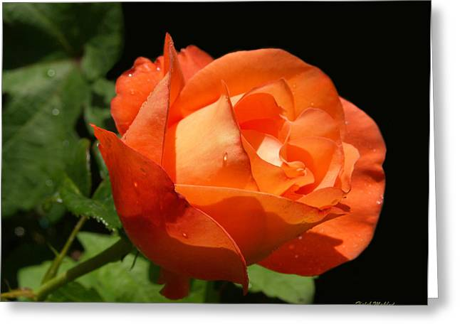 Greeting Card featuring the photograph Orange Rose by Haleh Mahbod