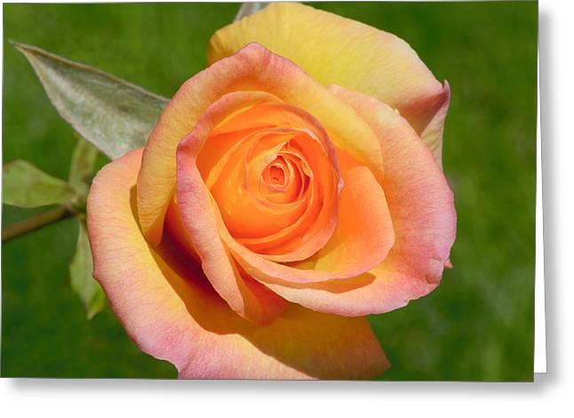 Greeting Card featuring the photograph Orange Rose by Jon Exley