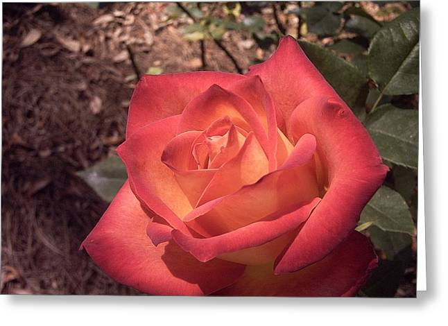 Greeting Card featuring the photograph Orange Rose by Michele Kaiser