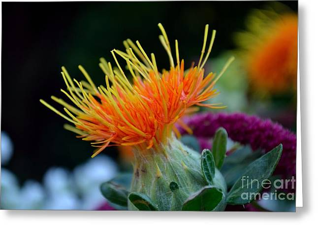 Orange Safflower Greeting Card