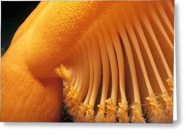 Orange Sea Pen Greeting Card