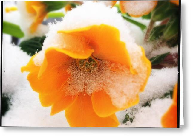 Orange Spring Flower With Snow Greeting Card