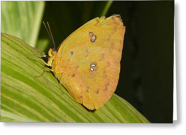 Orange Sulphur Greeting Card by Krista Keck