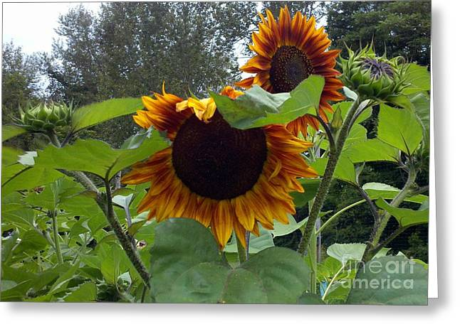 Orange Sunflowers Greeting Card by Polly Anna