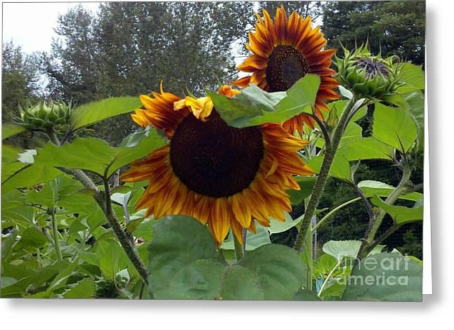 Orange Sunflowers Greeting Card