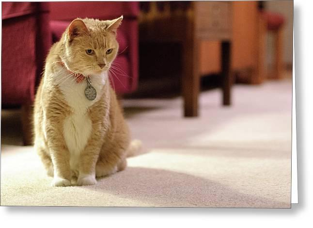 Orange Tabby Housecat Stares Greeting Card