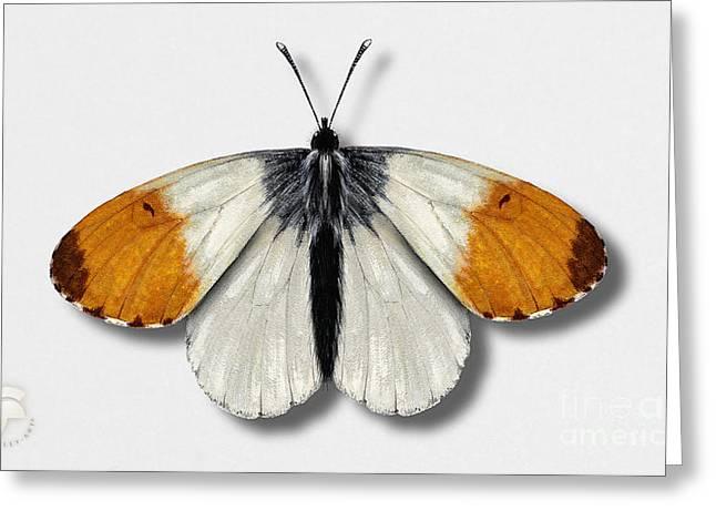 Orange Tip Butterfly - Anthocharis Cardamines Naturalistic Painting - Nettersheim Eifel Greeting Card by Urft Valley Art