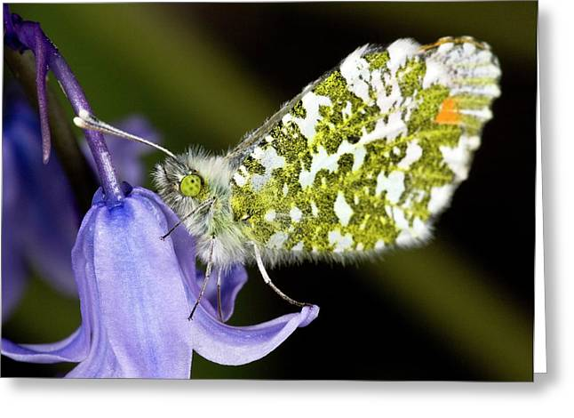 Orange-tip Butterfly On Bluebell Greeting Card