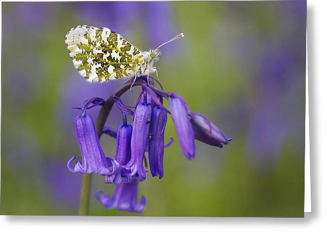 Orange Tip Butterfly On English Greeting Card by Richard Garvey-Williams