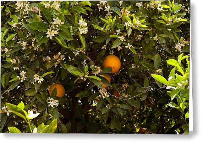 Orange Trees In An Orchard, Santa Greeting Card by Panoramic Images