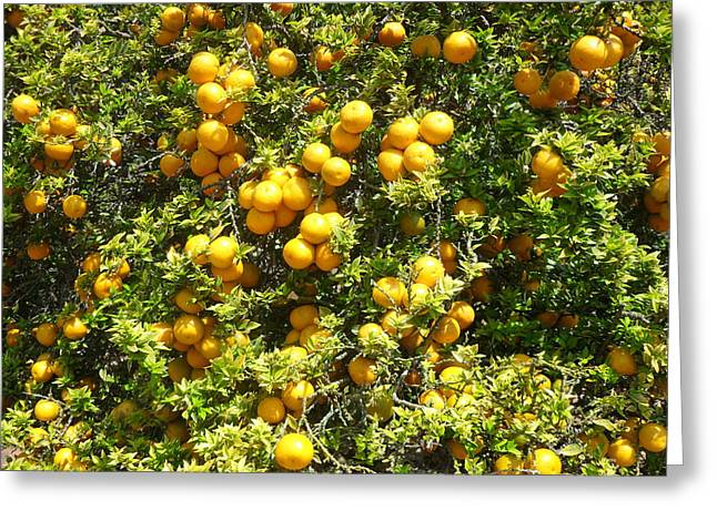 Orange Trees Greeting Card