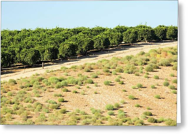 Orange Trees Near Bakersfield Greeting Card by Ashley Cooper