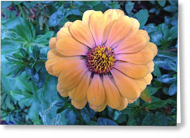Orange Zinnia Greeting Card