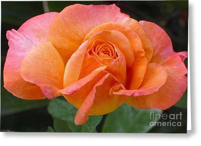 Orangerine Rose Greeting Card by Paul Clinkunbroomer