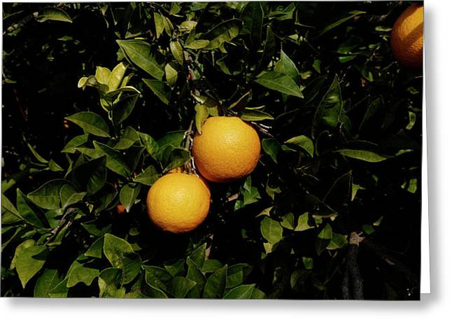 Oranges Growing On Tree, Vinaros Greeting Card by Panoramic Images