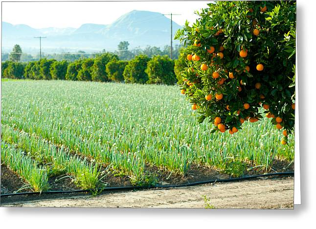 Oranges On A Tree With Onions Crop Greeting Card by Panoramic Images