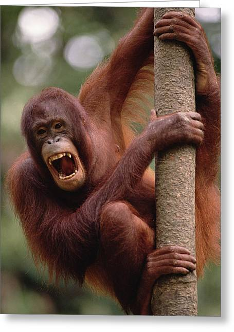 Orangutan Hanging On Tree Greeting Card by Gerry Ellis