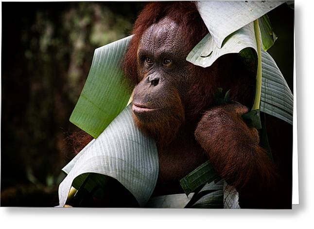 Greeting Card featuring the photograph Orangutan by Zoe Ferrie