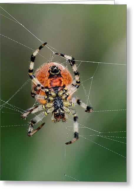 Orb Weaver Spider Greeting Card by Colin Varndell