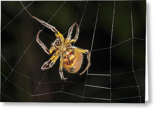 Orb-weaver Spider In Web Panguana Greeting Card by Konrad Wothe