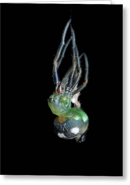 Orb-weaver Spider Moulting Greeting Card