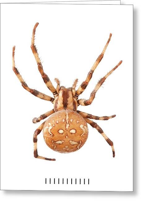 Orb Web Spider Greeting Card
