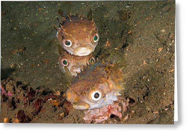 Orbicular Burrfish Greeting Card by Andrew J. Martinez