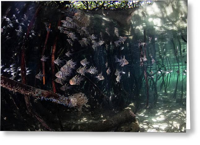 Orbiculate Cardinalfish Swiming Greeting Card by Ethan Daniels
