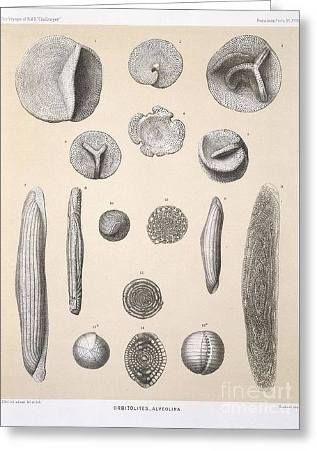 Orbitolites Foraminifera, Hms Challenger Greeting Card by Natural History Museum, London