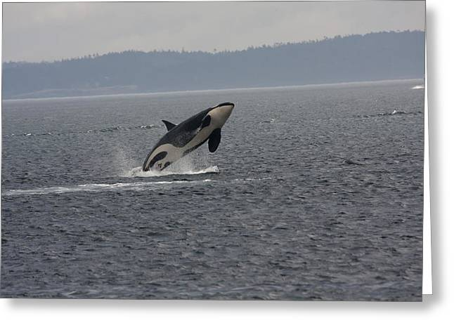 Orca - 0011 Greeting Card by S and S Photo