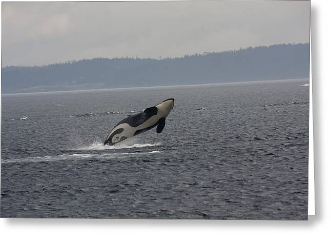 Orca - 0012 Greeting Card by S and S Photo