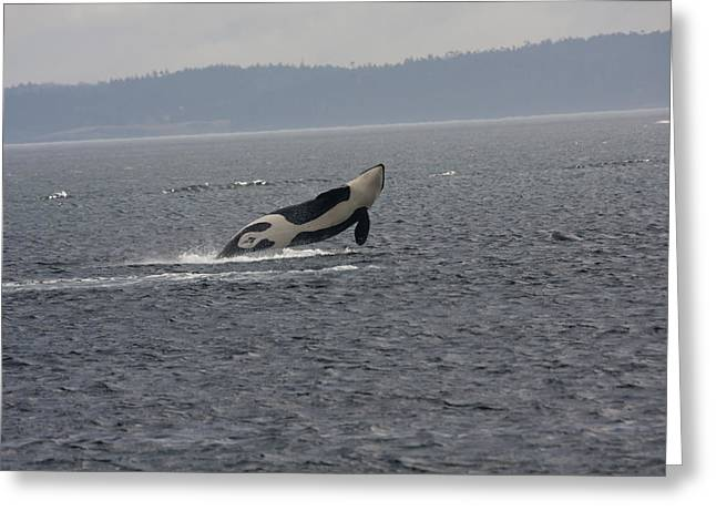 Orca - 0013 Greeting Card by S and S Photo