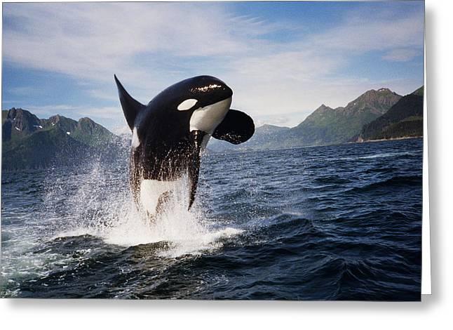 Orca Breach Greeting Card by Richard Johnson