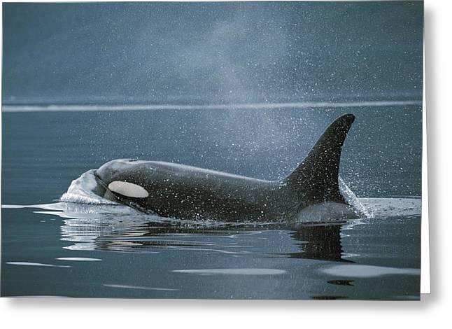 Orca Johnstone Strait Greeting Card by Hiroya Minakuchi