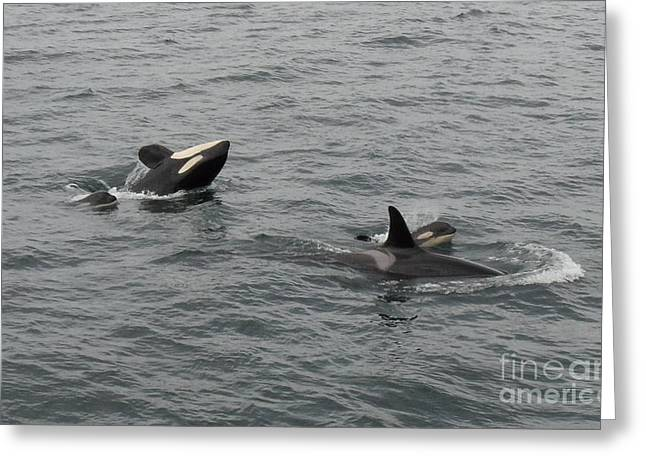 Orca Mamas In The Wild - Together Forever Greeting Card by Gayle Swigart