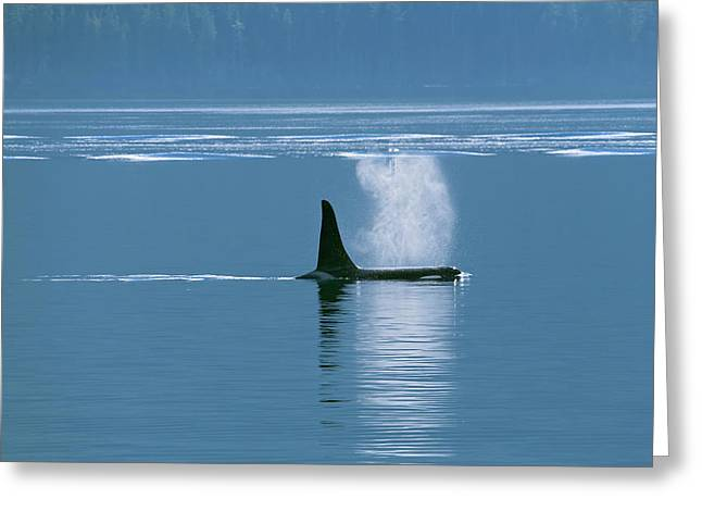 Orca  Orcinus Orca  Near Telegraph Cove Greeting Card