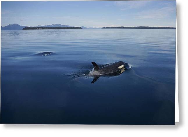 Orca Pair Surfacing Prince William Greeting Card by Hiroya Minakuchi
