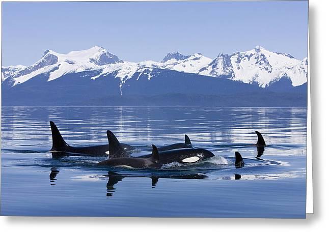 Orca Surface In Lynn Canal Near Juneau Greeting Card by John Hyde