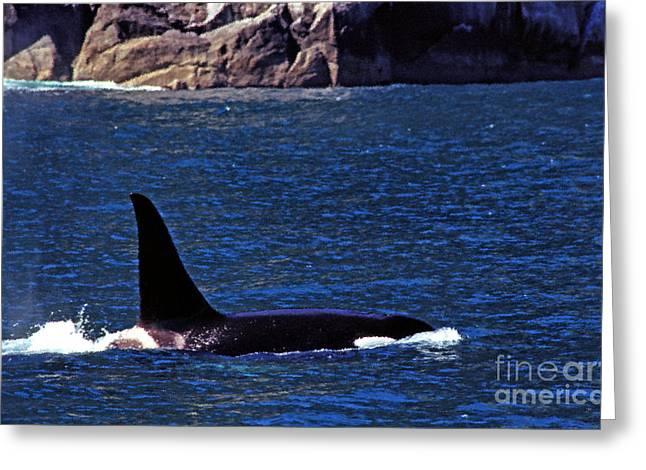 Orca Surfacing Greeting Card by Thomas R Fletcher