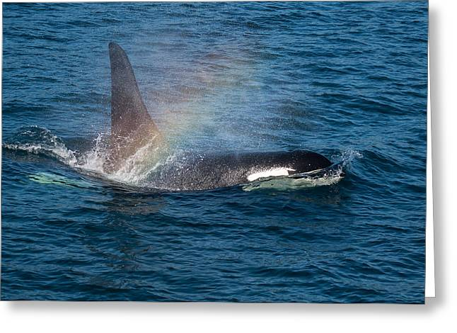 Orca Whale Surfacing Greeting Card by Puget  Exposure