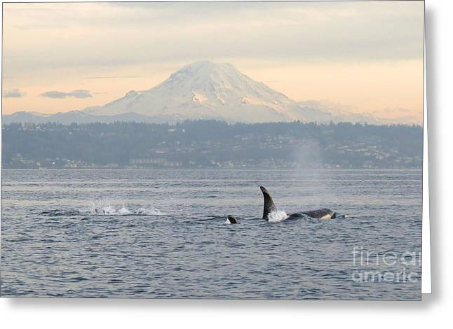 Orcas And Mt. Rainier Greeting Card by Gayle Swigart