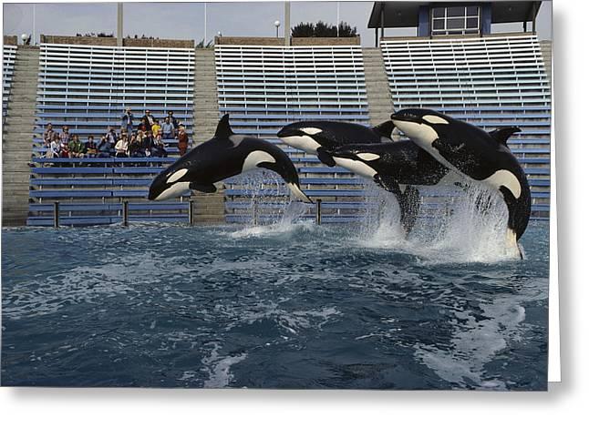 Orcas  Jumping Sea World San Diego Greeting Card by Flip Nicklin